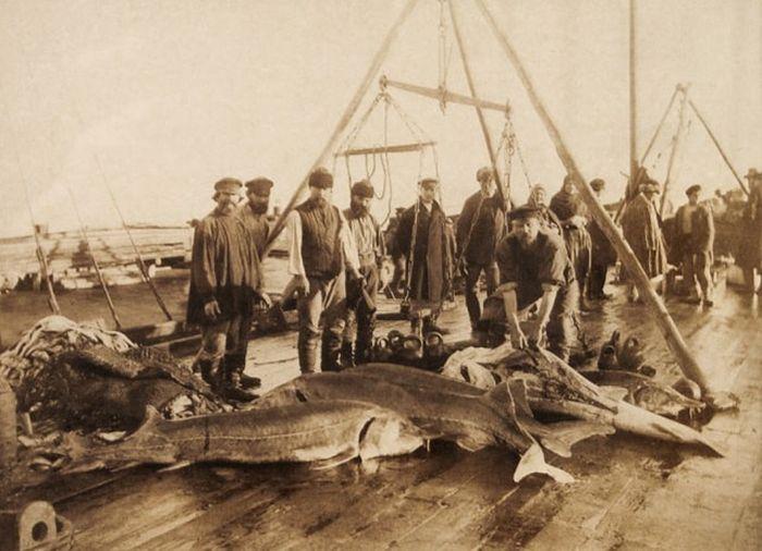 Осетровые в азовском море