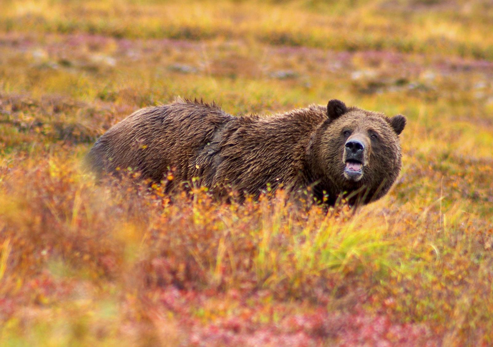 возмездия можно фото север медведя бурый ведь был период